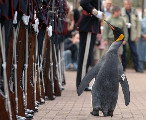 Nils Olav, pinguino militar de Escocia