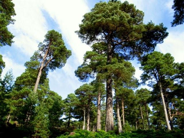 El bosque caledonio de Escocia: qué es y cómo regenerarlo